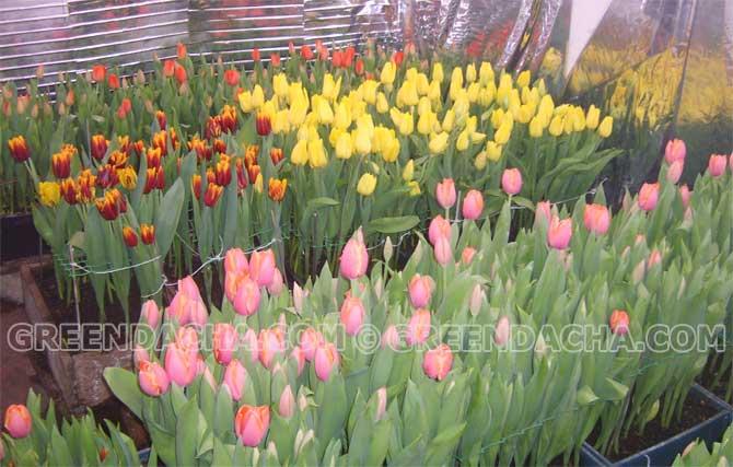 Тюльпаны в теплице на продажу к 8 марта купить где купить в воронеже свежие розы