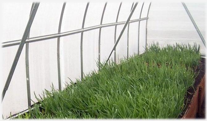 Выращиваем зелень в теплице.