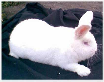 какие кролики лучше для разведения