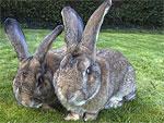 Правила разведения и содержания кроликов.