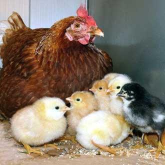 Выращивание цыплят под наседкой.
