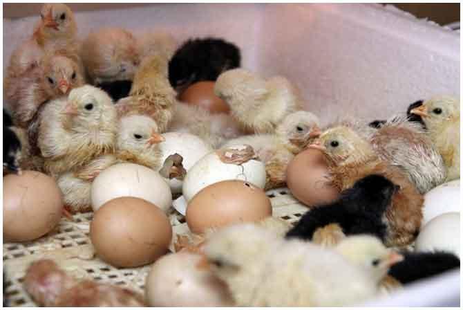 выведение цыплят в инкубаторе в домашних условиях видео инструкция - фото 6
