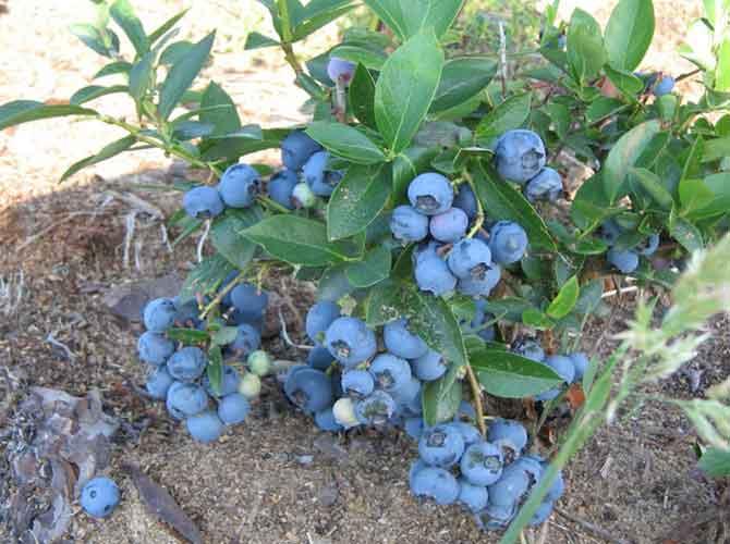 Выращивание черники в саду 81