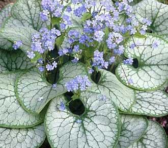 Цветы бруннера фото