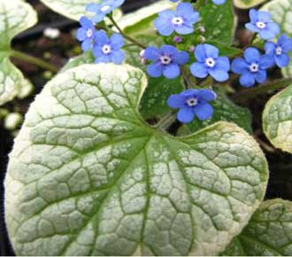 Brunnera KING'S RANSOM