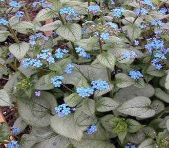 Brunnera LOOKING GLASS