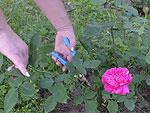 Размножаем розы черенками.