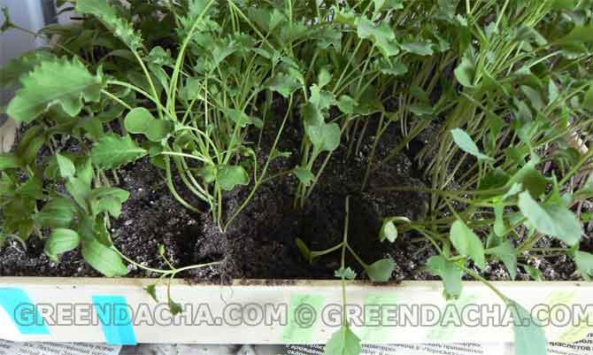 Как в домашних условиях вырастить рассаду цветной капусты в домашних условиях