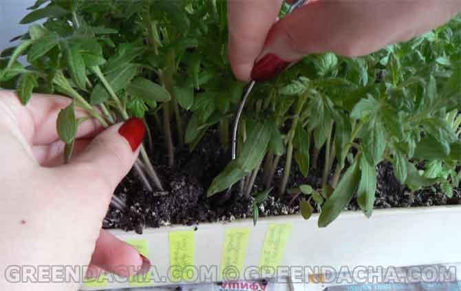 пикировать рассаду помидор сколько листов должно быть