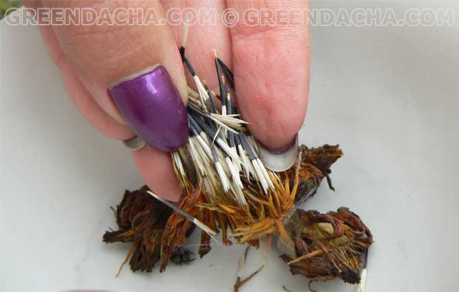 Как собрать семена гвоздики